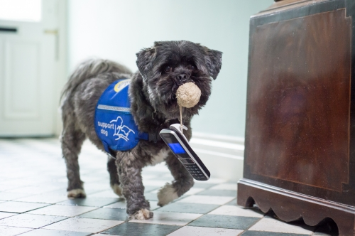 A small gray dog is holding a ball with string connected to a phone in its mouth.  It appears that the dog is bringing the phone to a new location. The dog is wearing a blue assistance dog vest.